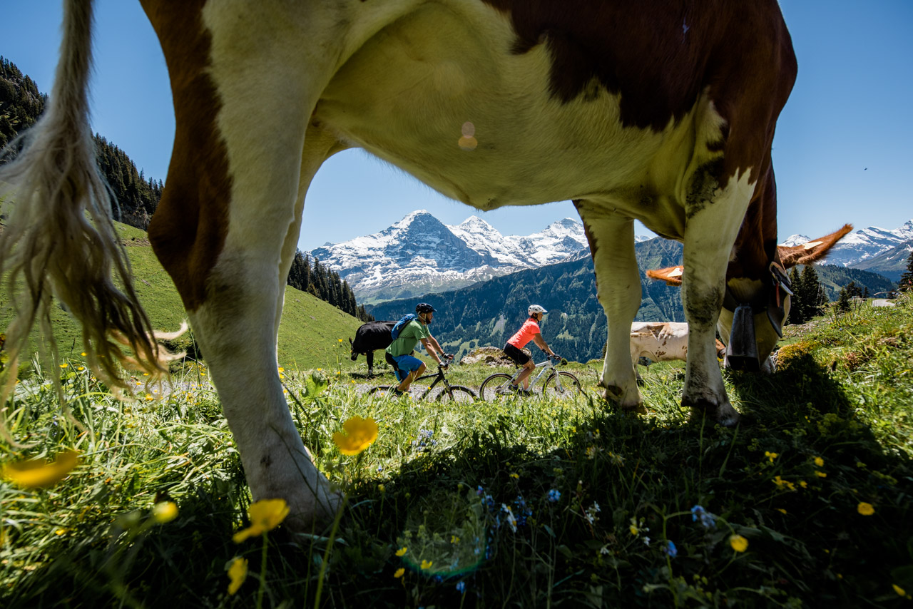 Cycling framed by cows in swiss alps